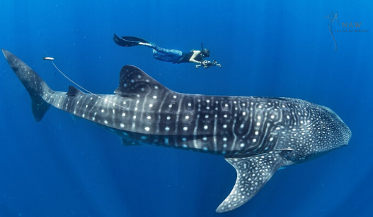 Your Guide to Swimming with Whale Sharks in La Paz